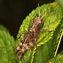 Clouded  Grasshopper Nymph - Encoptolophus sordidus