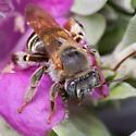 Exomalopsis Bee - female