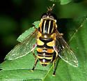 Syrphidae - Helophilus fasciatus - female