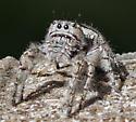 gray jumping spider? - Phidippus