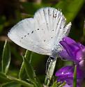 Butterfly - Cupido amyntula