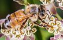 bee dangles - Apis mellifera