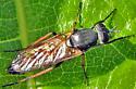 Fly - Ozodiceromyia nigrimana