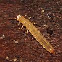 beetle larva - Dendrophagus cygnaei