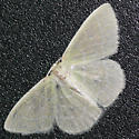 White moth - Synchlora aerata - male