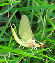 Pale large mayfly - Hexagenia