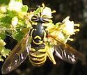 Spilomyia - Spilomyia foxleei - female