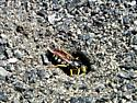 Wasp digging a nest in granite path - Bicyrtes quadrifasciatus