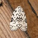 The Hebrew Moth - Polygrammate hebraeicum