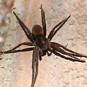 Spider ID? - Dolomedes triton