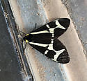 black and white moth - Dysschema howardi - male