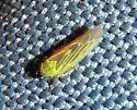 Yellow-green leafhopper - Macrosteles quadrilineatus