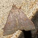 moth sp. - Bleptina caradrinalis