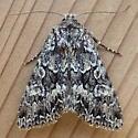 Noctuidae: Platypolia - Platypolia
