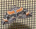 Orange-barred Carpet - Dysstroma hersiliata