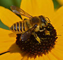 Bee 0601 - Megachile fortis - female