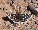 Small Checkered-Skipper in Nevada - Pyrgus scriptura