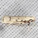 Five-spotted Glyphidocera Moth - Hodges #1139 - Glyphidocera lactiflosella