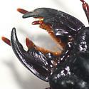 Ground beetle (Scarites sp.) - Scarites