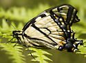 freshly emerged Eastern Tiger Swallowtail? - Papilio canadensis