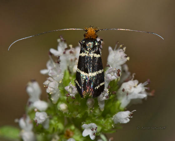 Adela north of Pinnacles, CA - Adela trigrapha - female