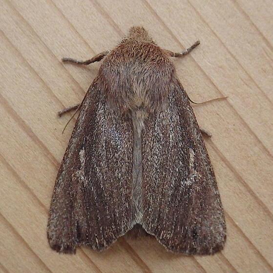 Noctuidae: Ufeus satyricus sagittarius - Ufeus satyricus