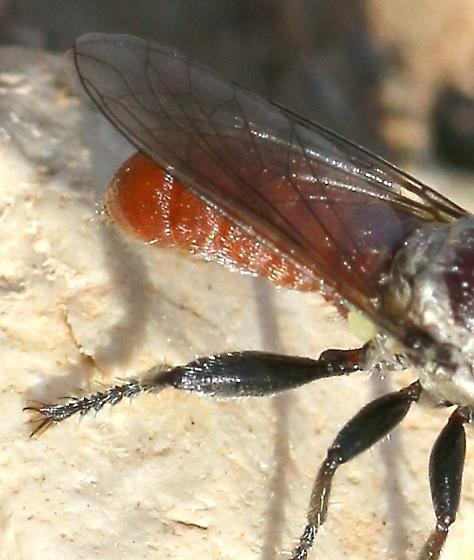 Robber Fly ? red fuzzy abdomen - Cerotainiops abdominalis