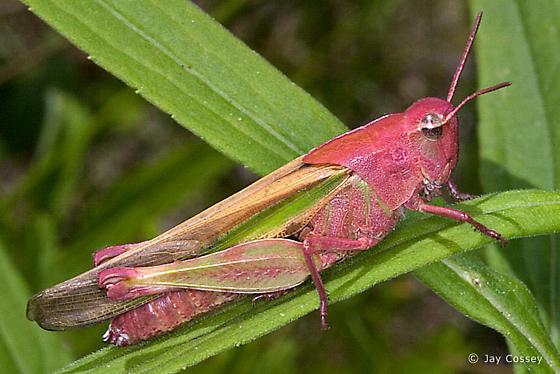 Blushing Grasshopper - Chortophaga viridifasciata - female