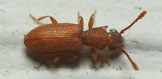 Silvanoprus scuticollis