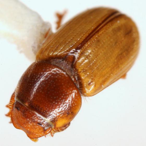 Xeropsamobeus asellus (Schmidt) - Xeropsamobeus asellus