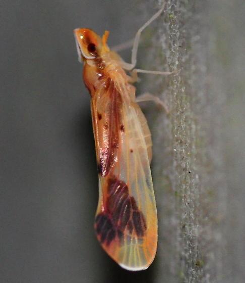 Otiocerus coquebertii - Otiocerus reaumurii - female
