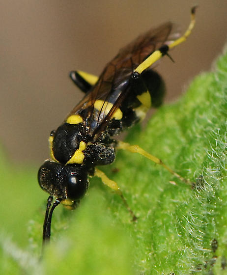 black and yellow wasp - Macrophya bifasciata