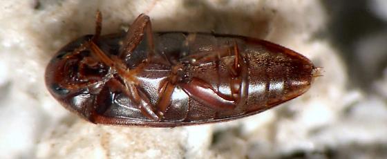 Melandryidae - Orchesia ornata