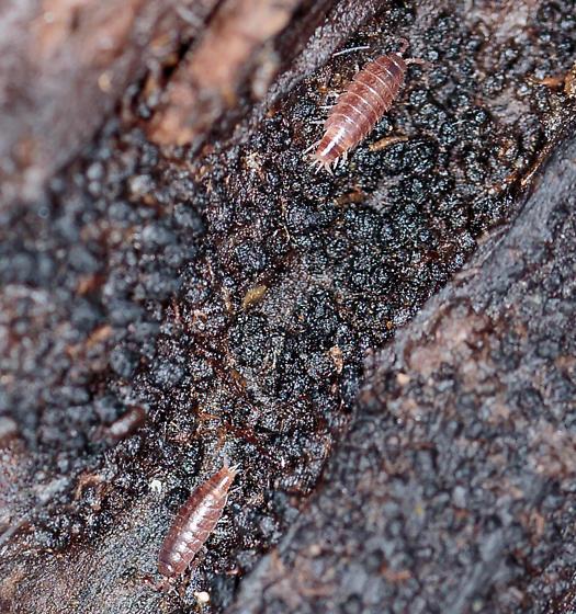 Trichoniscus provisorius?