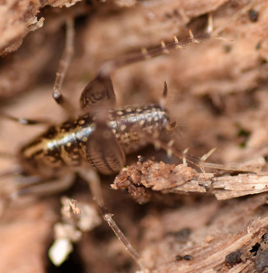 spotted camel cricket - Ceuthophilus maculatus