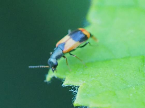 Beetle bad picture (Lebia?) - Anthocomus equestris