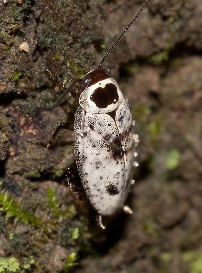 Plectoptera picta - male