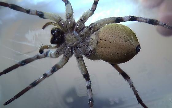 Desert Wolf Spider & Her Home - Hogna carolinensis - female