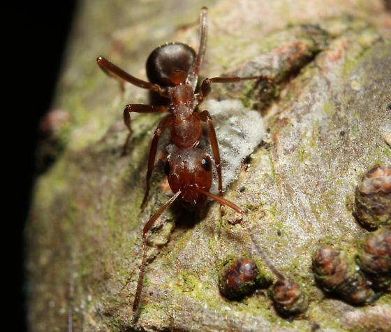 Formica querquetulana - female