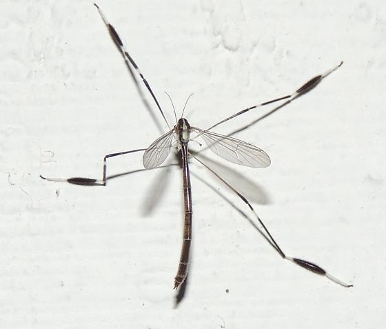 Bittacomorpha clavipes - Phantom Crane Fly? - Bittacomorpha clavipes