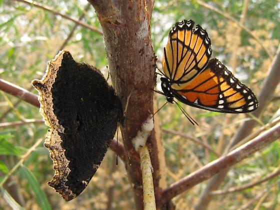 Mourning Cloak feeding on willow sap (in company with Viceroy) - Nymphalis antiopa