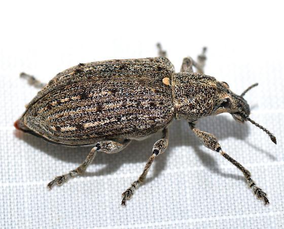 Weevil - Ithycerus noveboracensis