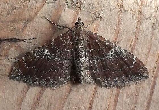 Geometridae: Orthonama obstipata - Orthonama obstipata - female