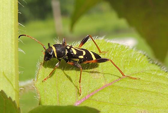 Unknown long-horned beetle in prairie parkland of Alberta, perhaps Clytus ruricola? - Clytus ruricola