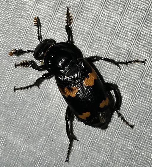 Nicrophorus sayi