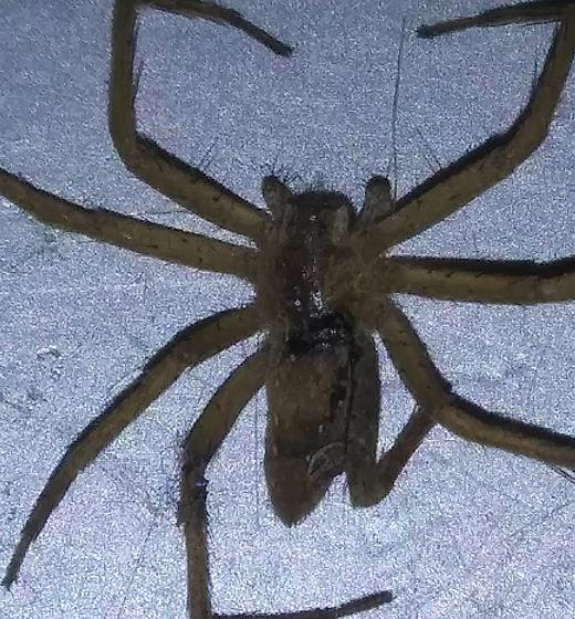 What is this spider - Pisaurina mira