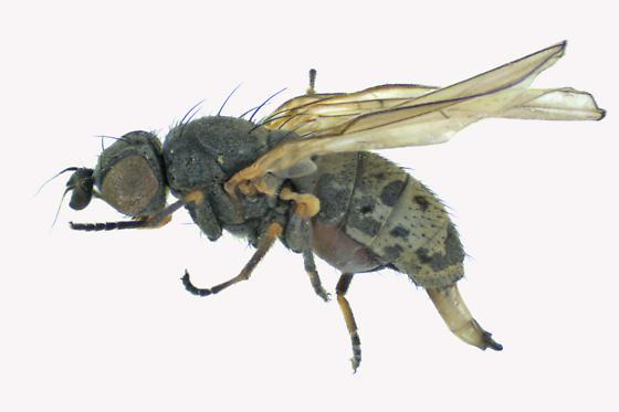 Chamaemyiidae - Chamaemyia - female
