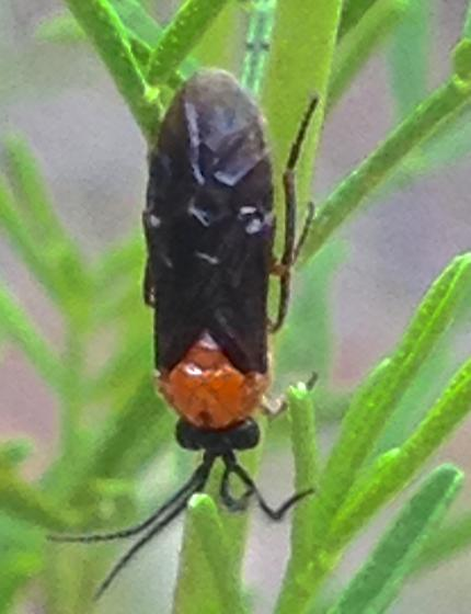 Sawfly - Sphacophilus - male