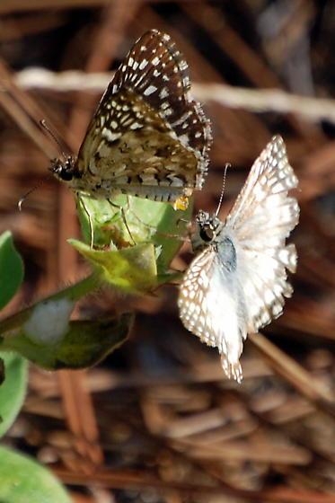 Tropical Checkered Skipper, Pyrgus Oileus ? - Pyrgus oileus - male - female