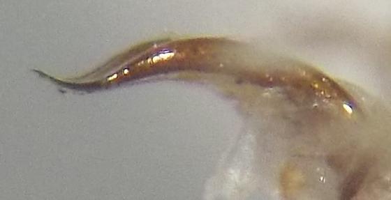 Listronotus sp. - Listronotus - male